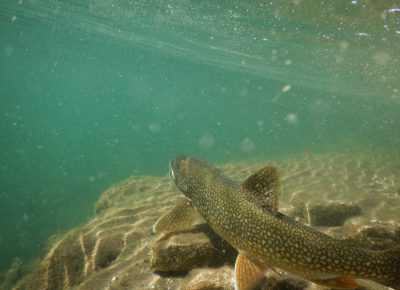 Lake Trout Change Behaviour Due to Climate Change