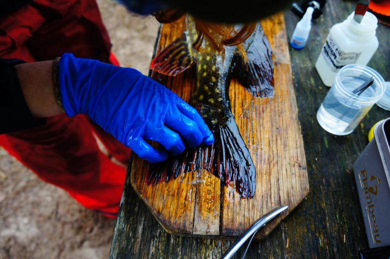 Scientist wearing blue gloves measures the fin of a fish against a wooden board