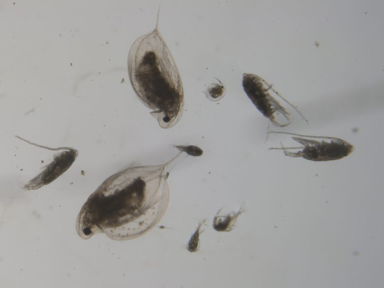 Preserved zooplankton