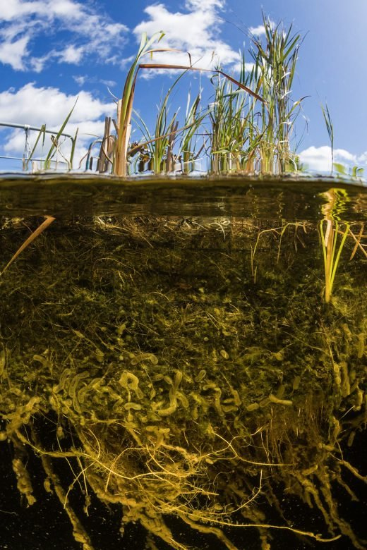 Underwater photo of the root system of a Floating Treatment Wetland