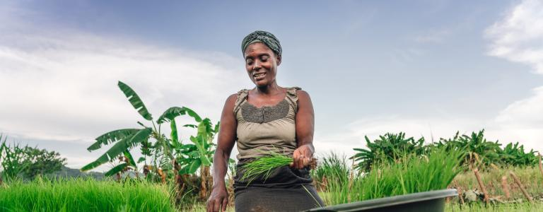 A woman farmer in Malawi kneels down in a grassy crop and harvests