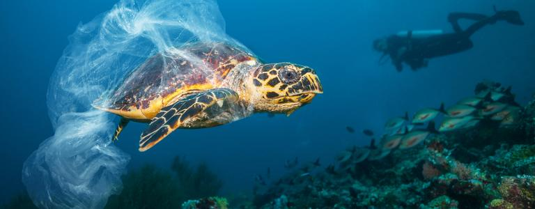 Hawksbill turtle trapped in plastic