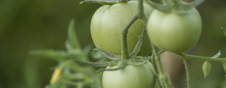 agriculture-green-tomatoes.jpg