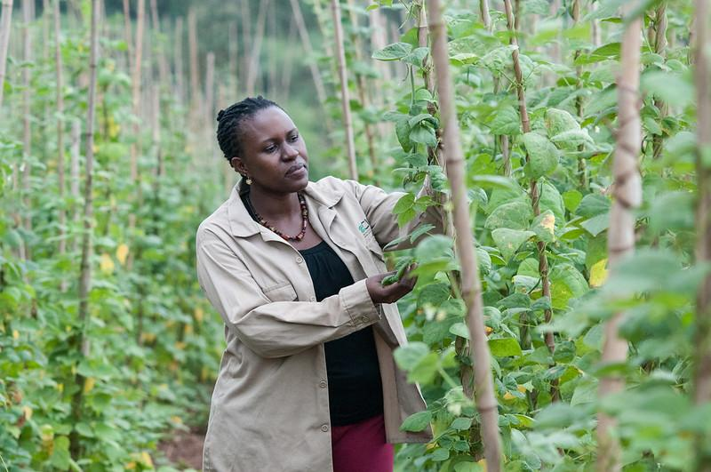 A woman inspects her crop of beans on an overcast day in Uganda