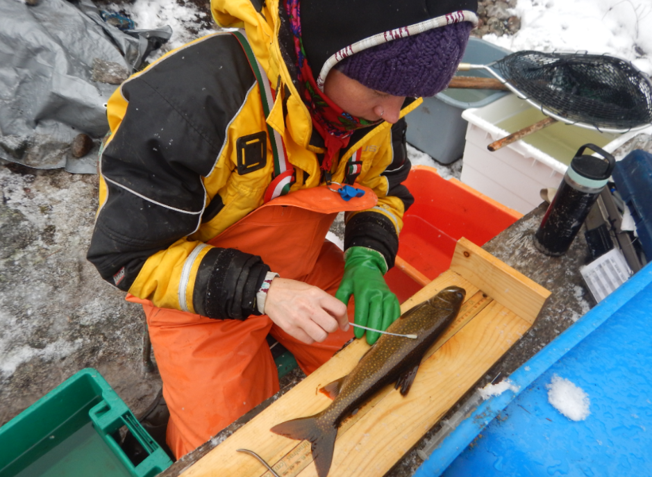 scientist swabs a fish on a wooden board with a swab