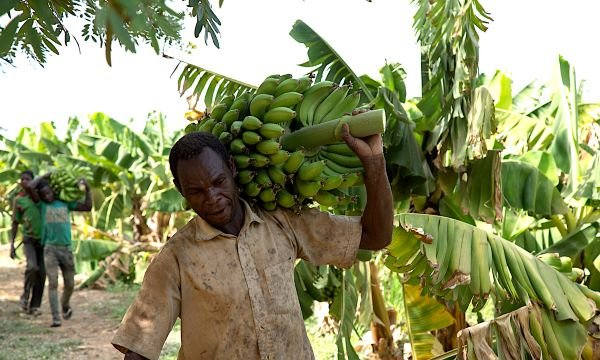 A man walks through a field with a large stalk of bananas over his shoulder. For a story on COVID-19 and the hunger crisis.