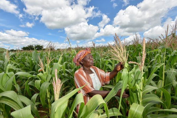 A woman in traditional dress inspects a maize crop in Malawi under a blue sky