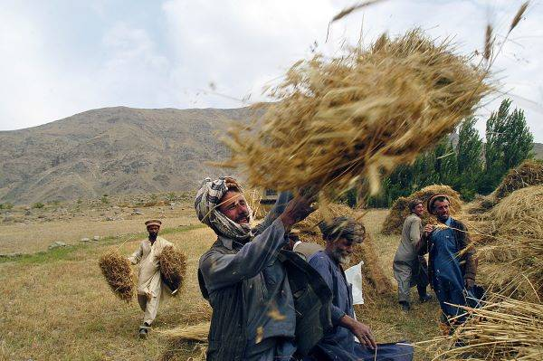 Afghani man hauls wheat into the air