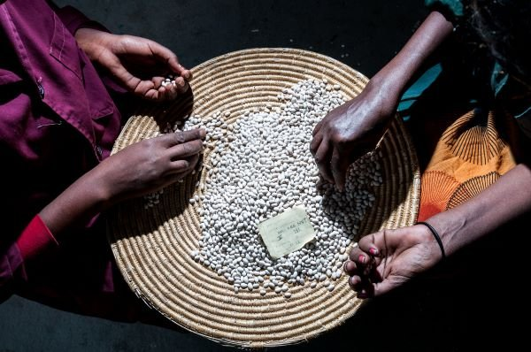 Women's hands sorting white pea beans in a woven basket in low light in Ethiopia