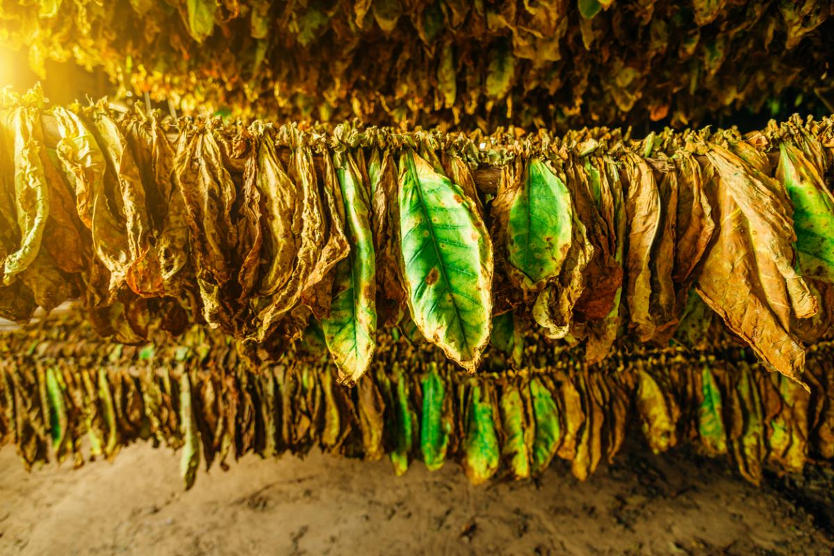 Tobacco leaves drying in the shed, Cuba