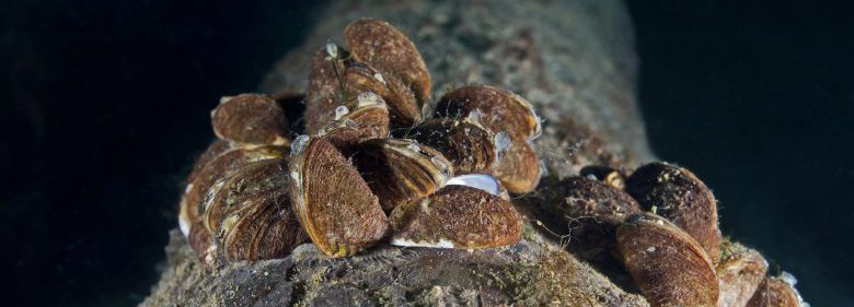 Aquatic invasive species - zebra mussels