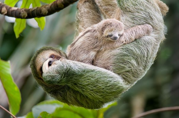 Mama sloth with baby sloth hanging together from a tree branch in their natural environment