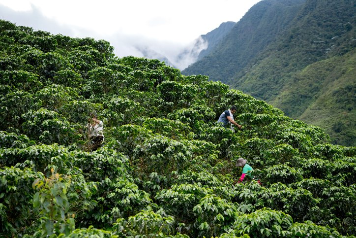 group-farmers-collecting-coffee-beans-south-america